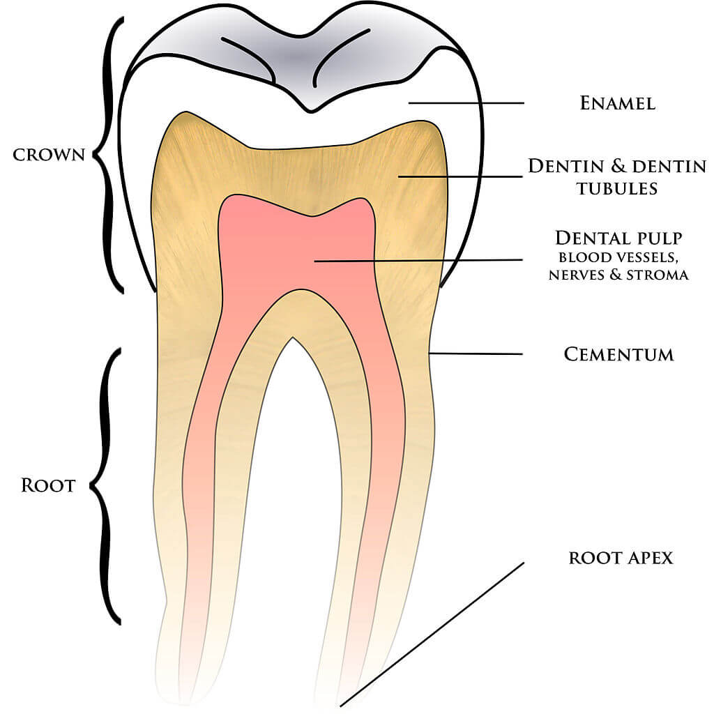 tooth diagram - dentaly.org simple diagram of tooth