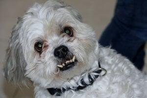 chien sans dent