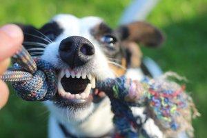 dents chien