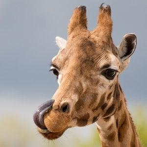 girafe qui se lèche